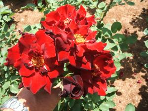 花巻薔薇園2013-06-23-073