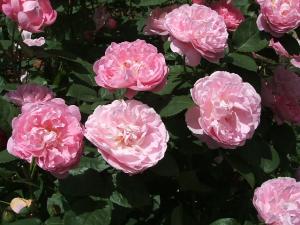 花巻薔薇園2013-06-23-085