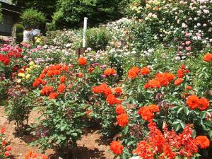 花巻薔薇園2013-06-23-082