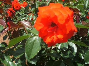花巻薔薇園2013-06-23-083