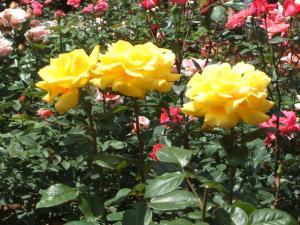 花巻薔薇園2013-06-23-081