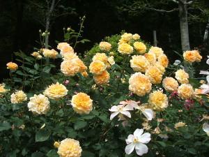 花巻薔薇園2013-06-23-092