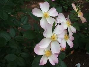 花巻薔薇園2013-06-23-088