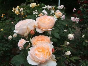 花巻薔薇園2013-06-23-086