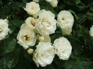 花巻薔薇園2013-06-23-098
