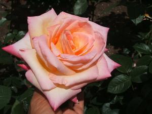 花巻薔薇園2013-06-23-096