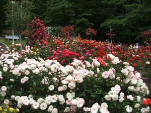 花巻薔薇園2013-06-23-093