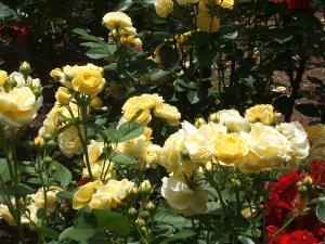 花巻薔薇園2013-06-23-104