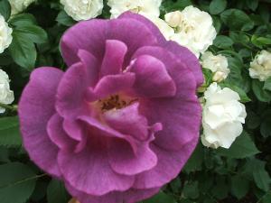 花巻薔薇園2013-06-23-099