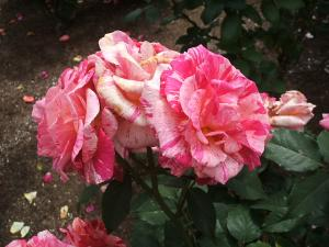 花巻薔薇園2013-06-23-108