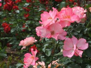 花巻薔薇園2013-06-23-105