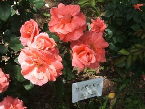 花巻薔薇園2013-06-23-115