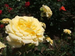 花巻薔薇園2013-06-23-114