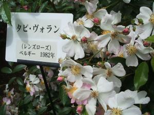 花巻薔薇園2013-06-23-112