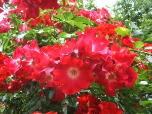 花巻薔薇園2013-06-23-111
