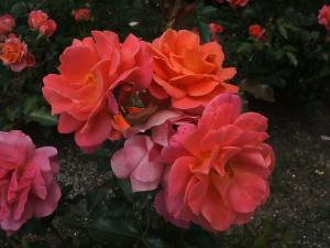 花巻薔薇園2013-06-23-120