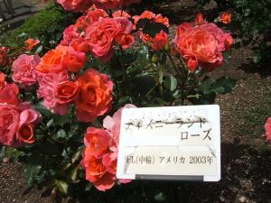 花巻薔薇園2013-06-23-119