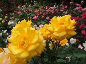 花巻薔薇園2013-06-23-118