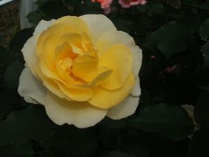 花巻薔薇園2013-06-23-127