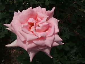 花巻薔薇園2013-06-23-126