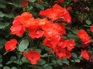 花巻薔薇園2013-06-23-135