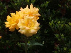 花巻薔薇園2013-06-23-134