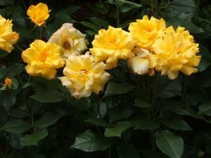 花巻薔薇園2013-06-23-133