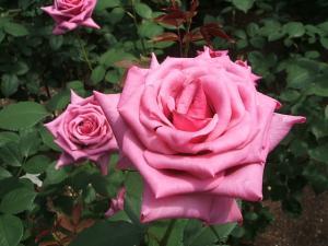 花巻薔薇園2013-06-23-132