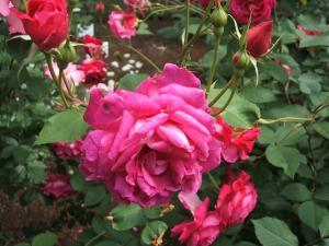 花巻薔薇園2013-06-23-131