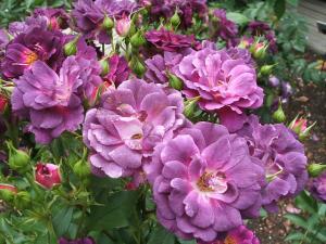 花巻薔薇園2013-06-23-140