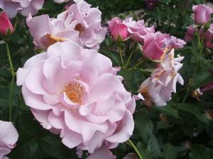 花巻薔薇園2013-06-23-137