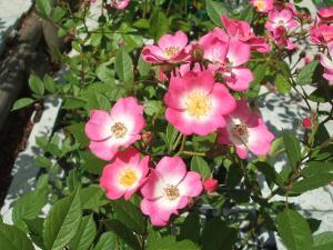 花巻薔薇園2013-06-23-148
