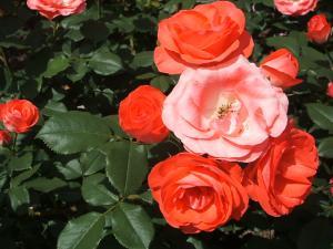 花巻薔薇園2013-06-23-146
