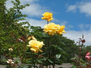 花巻薔薇園2013-06-23-144