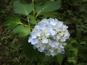 紫陽花園2013.07.06.006
