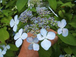 紫陽花園2013.07.06.003