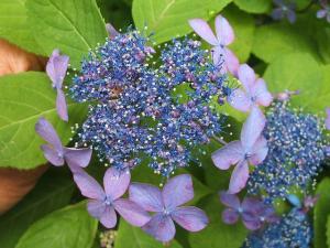 紫陽花園2013.07.06.002