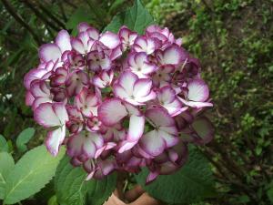 紫陽花園2013.07.06.018