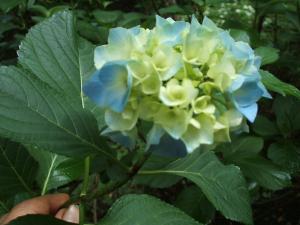 紫陽花園2013.07.06.014