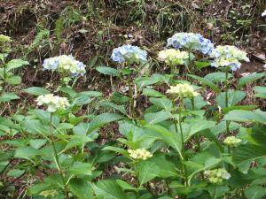 紫陽花園2013.07.06.020
