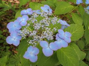 紫陽花園2013.07.06.028