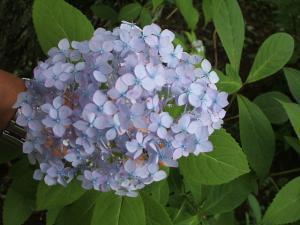 紫陽花園2013.07.06.035