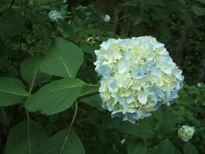 紫陽花園2013.07.06.034