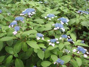 紫陽花園2013.07.06.040