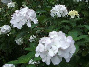 紫陽花園2013.07.06.052
