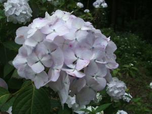 紫陽花園2013.07.06.051