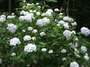 紫陽花園2013.07.06.050