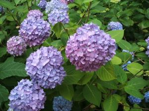 紫陽花園2013.07.06.075