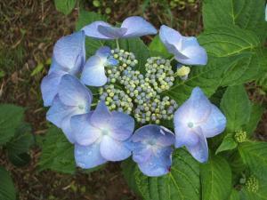 紫陽花園2013.07.06.077