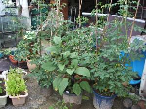 家庭菜園2013-07-14-006